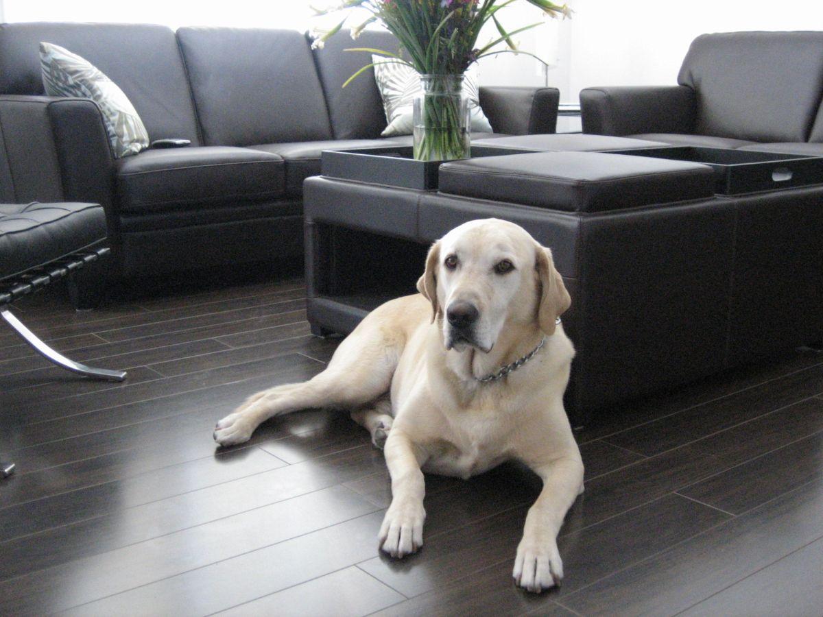 https://brazilfloors.com/wp-content/uploads/2018/04/Dog-on-laminate-flooring.jpg